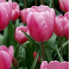 Tulipan Jumbo Pink