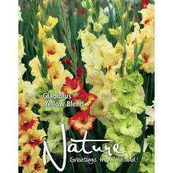 Gladiolus Yellow Blend