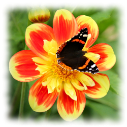 Admiral sommerfulg i Dahlia - Insektvenlige blomsterløg og knolde