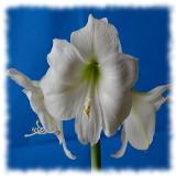 Amaryllis - Hippeastrum. Udvalg af dobbelte og enkeltblomstrende Amaryllis til indendørs dyrkning