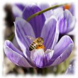 Krokus med bi